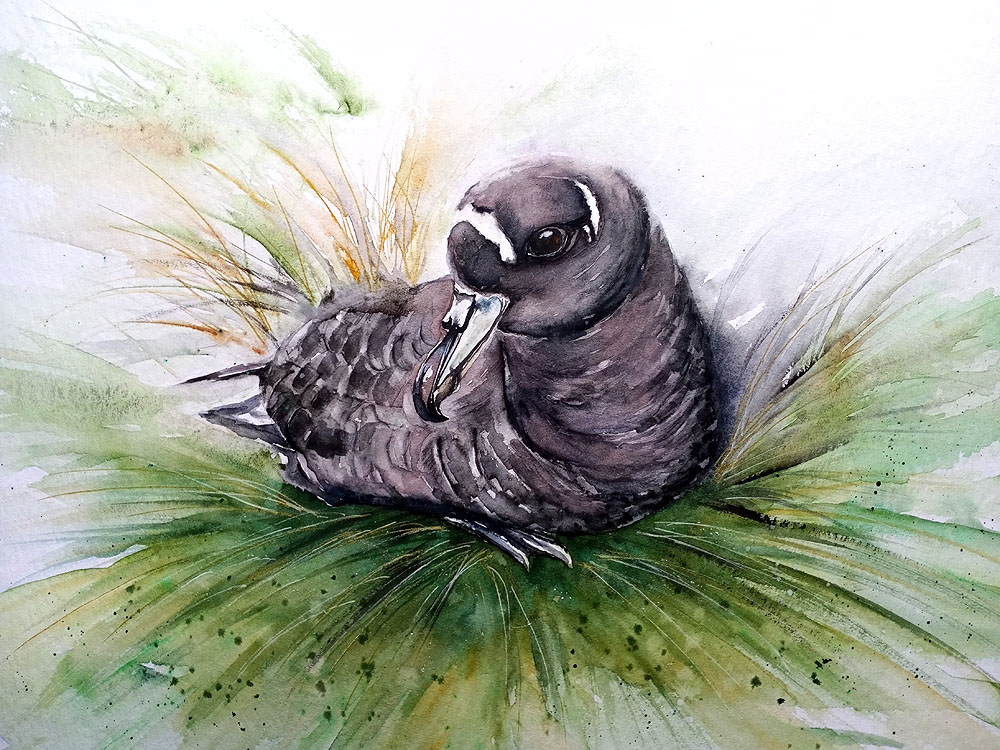 Helen Worthington Spectacled Petrel water colour Peter Ryan