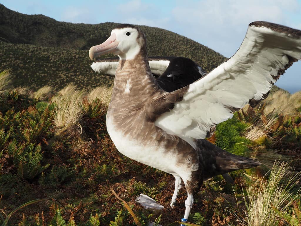 Antipodean Albatross colour banded Kath Walker