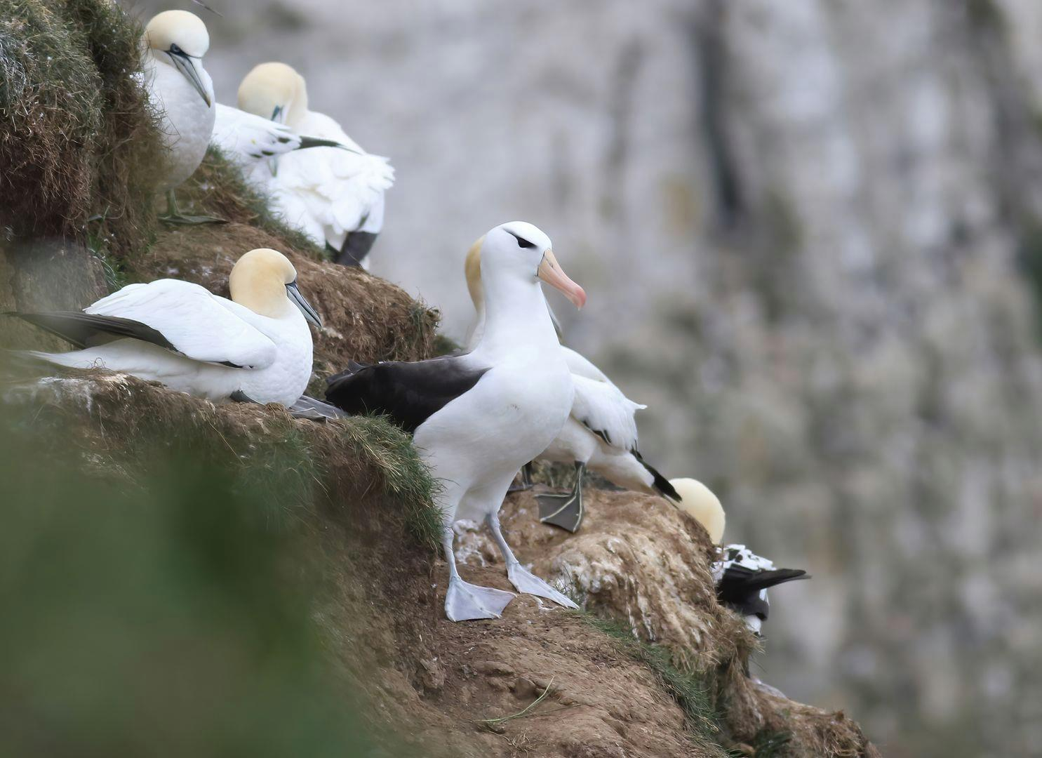 Bempton Cliffs Black browed Albatross Craig Thomas