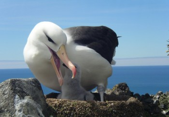 Black browed Albatross  Heard Island RK s