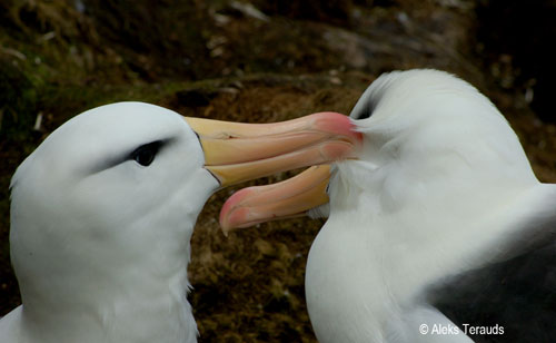 Black browed Albatross Preening by Aleks Terauds