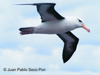black browed albatross flying by juan pablo seco pon