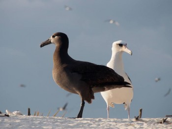 Black footed and Laysan Albatrosses Kure Atoll Conservancy