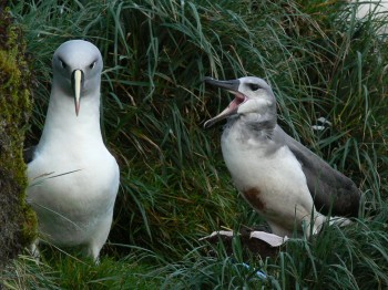 Grey-headed Albatross Marion Island Marienne de Villiers