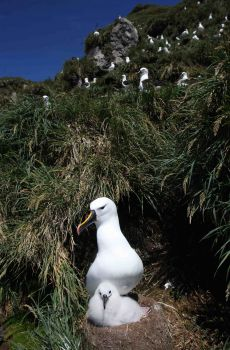 Indian_Yellow_nosed_Albatross_Prince_Edward_Island3_by_Peter_Ryan