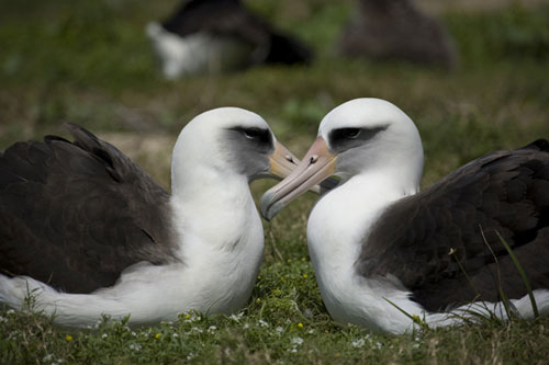 Laysan Albatross Pair by James Lloyd