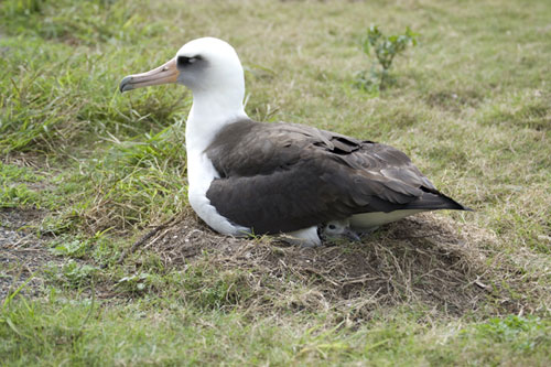 Laysan Albatross by James Lloyd