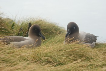 Light mantled Sooty  Albatrosses Erica Sommer 2