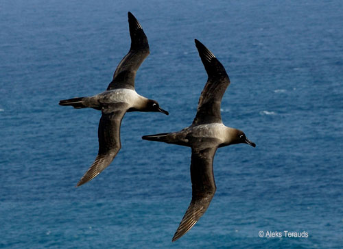 Light mantled sooty albatross by Aleks Terauds