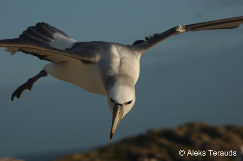 Shy Albatross flying by Aleks Terauds