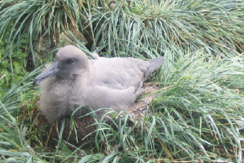 Sooty Albatross chicks by Marianne de Villiers