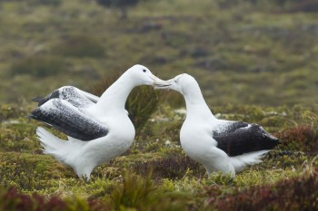 Southern Royal Albatross Pair Enderby Island Barry Baker s