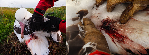 Adult tristan albatross with back wounds from mice 2018 Left Kate Lawrence Right Jaimie Cleeland