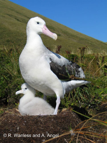 Tristan_Albatross_by_Ross_Wanless_and_Andrea_Angel