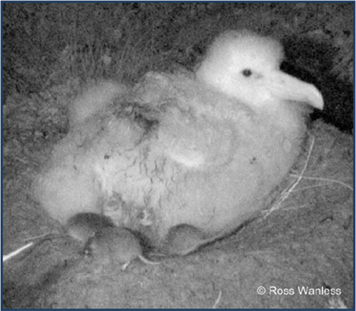 Tristan Albatross chick by Ross Wanless