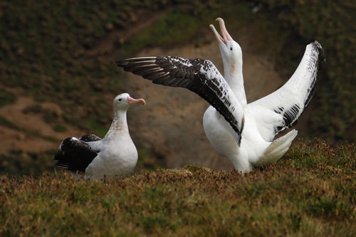 Wandering albatross display by Rowan Treblico