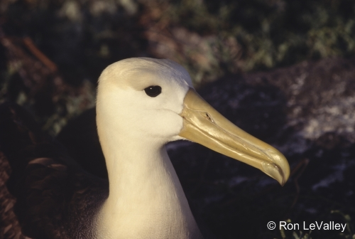Agreement on the Conservation of Albatrosses and Petrels - ACAP