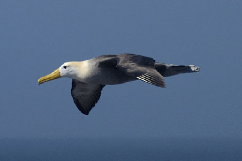 Waved_Albatross_flying_by_Barry_Baker