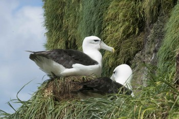 Whitecapped Albatross SW Cape Auckland Barry Baker s