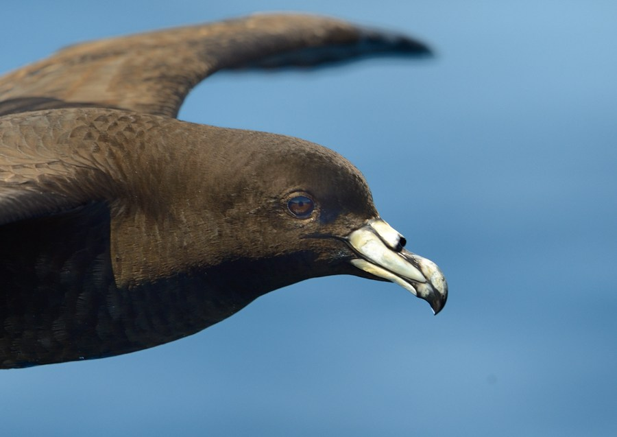 Black Petrel Zufelt off North Cape NZ 3