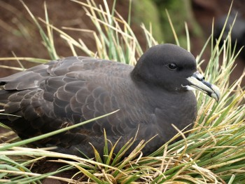 White chinned Petrel Andy Wood
