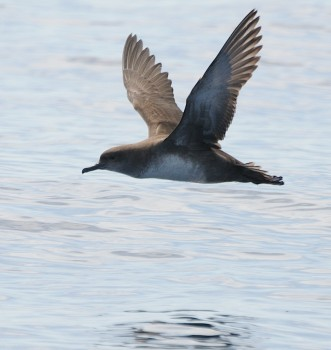 Balearic Shearwater at sea