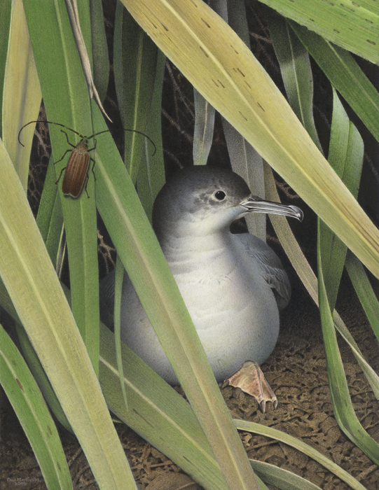 Scarletts Shearwater.painting
