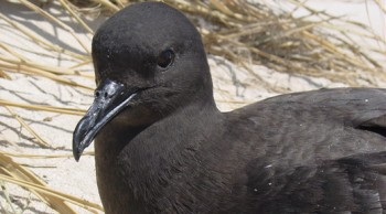 Christmas Shearwater FWS