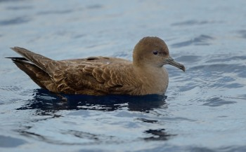 Short tailed Shearwater off Noth Cape NZ Kirk Zufelt s