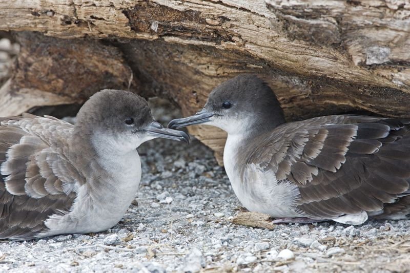 Wedge tailed Shearwater Pacific Islands Avian Health  Disease Program