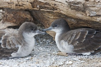 Wedge tailed Shearwater Pacific Islands Avian Health Disease Program s