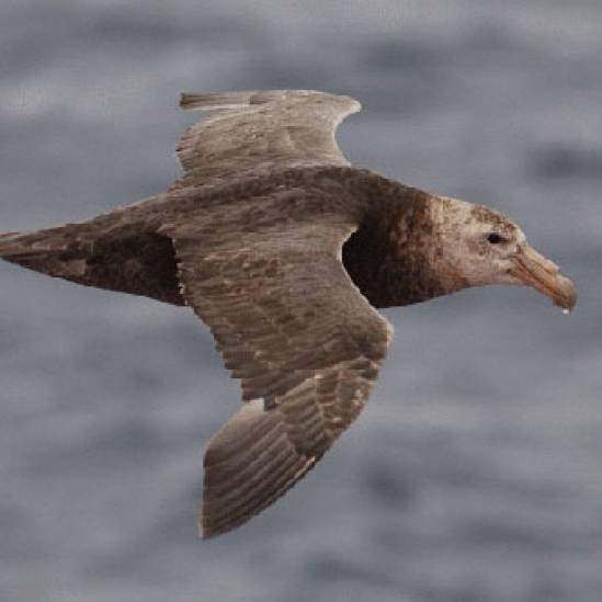Ouch!  Sperm Whales flinch as giant petrels prey on their flesh