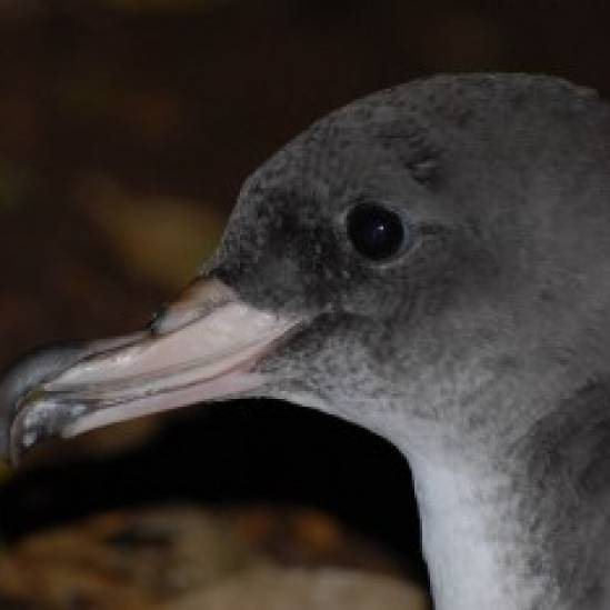 Chile's ACAP-listed Pink-footed Shearwater gets a Recovery, Conservation and Management Plan