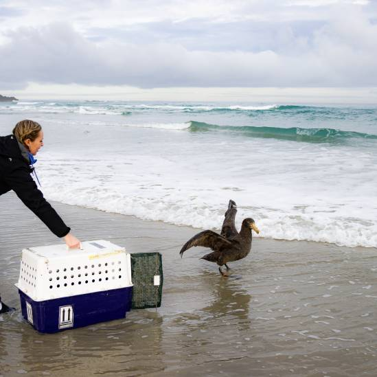 A Northern Giant Petrel with a fractured wing is treated in captivity before release