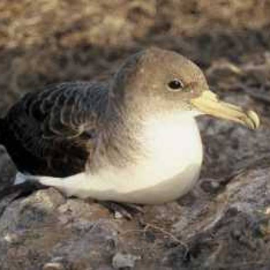 Cory's Shearwaters vary their foraging patterns in relation to the North Atlantic Oscillation
