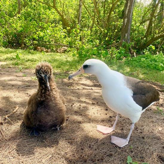 Three Laysan Albatross chicks fledge from the new colony at Kahuku Point/Kalaeokaunaʻoa on Hawaii's island of Oahu
