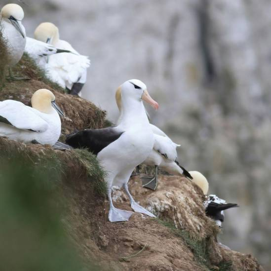 Wrong hemisphere!  A Black-browed Albatross turns up among gannets at the United Kingdom's Bempton Cliffs