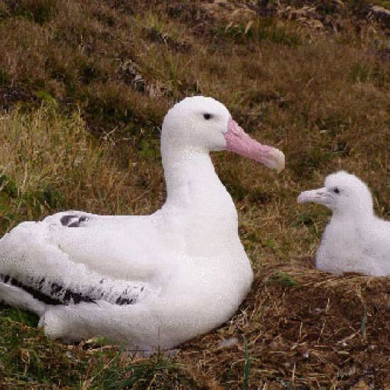 Albatrosses and giant petrels continue to ingest plastic litter at South Africa's Marion Island