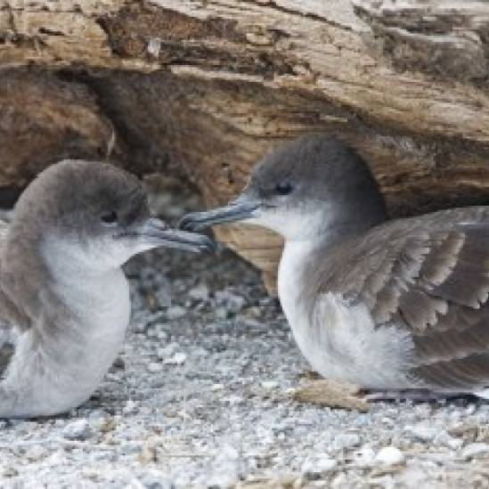 Attracted to the bright lights: Wedge-tailed Shearwater fallout in Hawaii