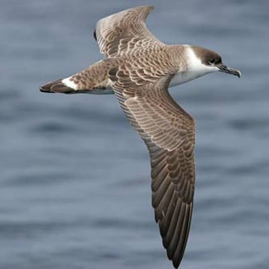 Great Shearwaters dominate Sooty Shearwaters when supplementally fed at sea