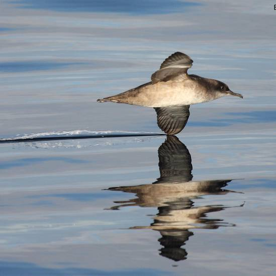 Over 15 000 Balearic Shearwaters counted flying south along Portugal's coast