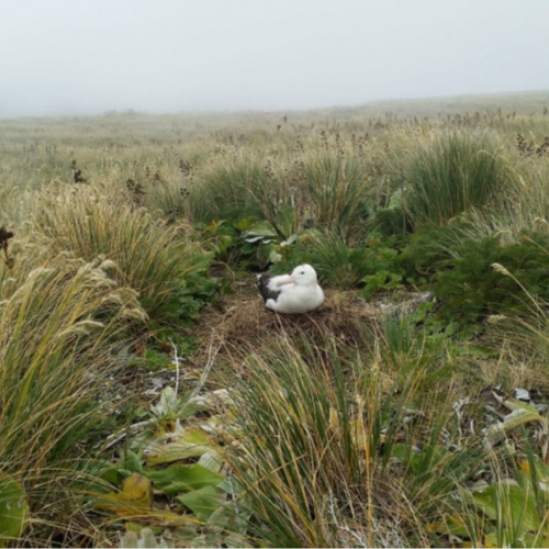 Counting and tracking Gibson's Antipodean and White-capped Albatrosses at the Auckland Islands