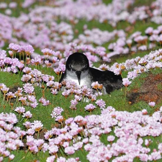 A million birds: more than half the world's Manx Shearwaters breed in Wales
