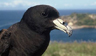 Petrel negro