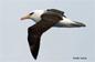 Albatros de Campbell