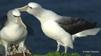 Albatros timido