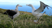 Albatros de Tristán