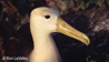 Albatros de Galapagos