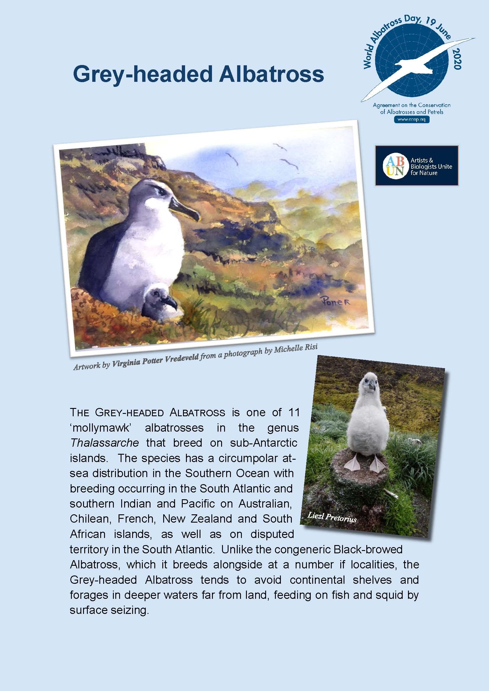 Albatros de cabeza gris