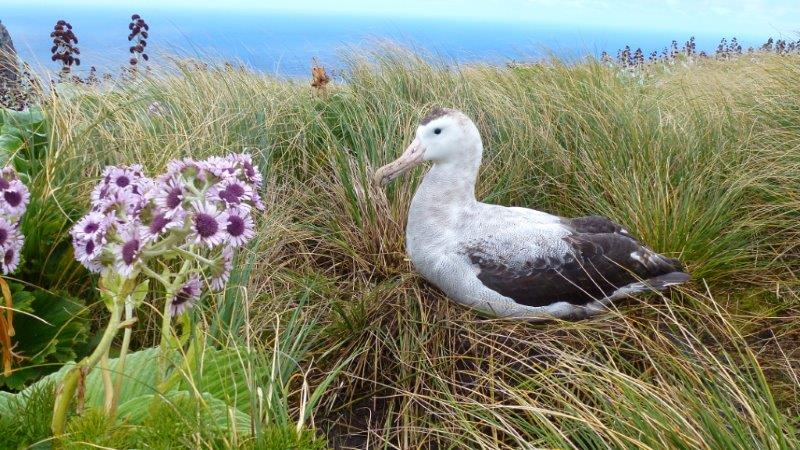 Colouring in Antipodean Albatross, Diane Andersen